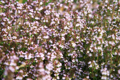 Blosoom thyme Royalty Free Stock Photography
