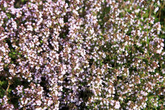 Blosoom thyme, background. Stock Photography
