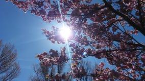 Blossem rosado Foto de archivo libre de regalías