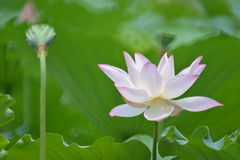 Blossemed lotus flower with seed pods. A well blossomed lotus flower stands with some seed pods Stock Photography