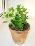 Blossfeldiana de Kalanchoe Imagem de Stock Royalty Free