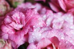Blossfeldiana Kalanchoe Arkivfoto