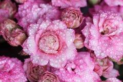 Blossfeldiana Kalanchoe Stock Photo