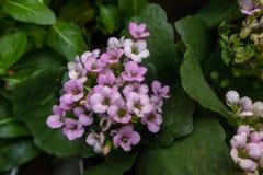 Blossfeldiana Poelln de la flor-Kalanchoe de la longevidad Imagenes de archivo