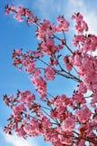 blossing的樱桃 免版税库存照片