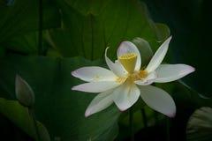 Blossm dos lótus brancos Fotografia de Stock Royalty Free