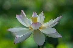 Blossm dos lótus brancos Imagens de Stock Royalty Free