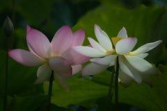 Blossm dos lótus cor-de-rosa e brancos Imagens de Stock