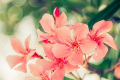 Blossoimg rosa dei fiori dell'albero di nerium oleander fotografia stock libera da diritti