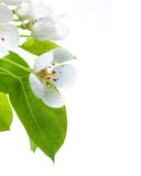 Blossom. Beautiful Pear Blossom isolated on white stock photos