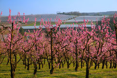 Blossom. An orchard of fruit trees (nectarinier Royalty Free Stock Image