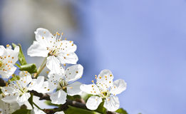 Blossom. Spring blossom with blue background Stock Photo