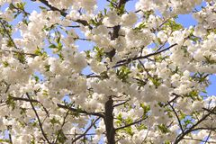 Blossom 2. White spring blossom against a blue sky royalty free stock photography