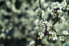 Blossom. Cherry tree blossom during the spring Stock Photo