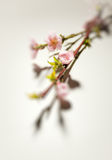 Blossom Royalty Free Stock Photos