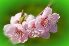 Blossom Royalty Free Stock Photo