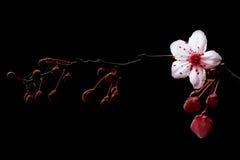 Blossom Royalty Free Stock Photography