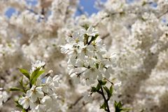 Blossom. Tree in the Riverside Park, NYC stock image