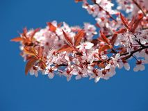 Blossom. On a tree Royalty Free Stock Photo