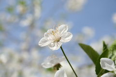 Blossom. Of cherry Royalty Free Stock Photos