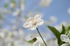 Blossom Royalty Free Stock Photos