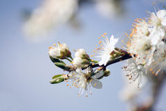 Blossom. First blooms of apple blossom with soft focus background royalty free stock photo