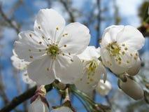 Blossom. Close up of white cherry blossom with blue sky Stock Photos