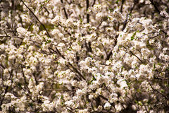 Blossom abstract blur, springtime Royalty Free Stock Photo