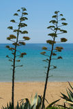 Blossom of agave plant on tropical island with blue clear sea wa. Ter and blue sky Stock Photos