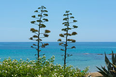 Blossom of agave plant on tropical island with blue clear sea wa. Ter and blue sky Royalty Free Stock Photography