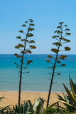 Blossom of agave plant on tropical island with blue clear sea wa. Ter and blue sky Royalty Free Stock Photos