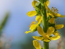 Agrimonia eupatoria Royalty Free Stock Photography