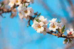 Blossom almond branch Stock Photo