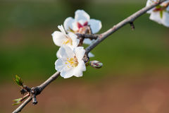 Blossom almond flower Royalty Free Stock Photo