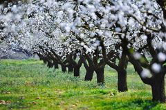 Blossom almond trees Royalty Free Stock Photo