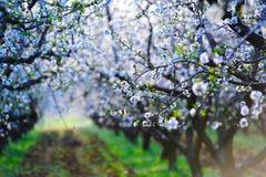 Blossom almond trees Stock Image