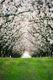 Blossom almond trees Stock Photos