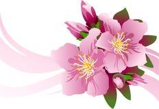 Blossom_aple Images libres de droits