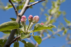 Blossom apple. Tree branch spring flower blossom apple fruit nature life royalty free stock photos