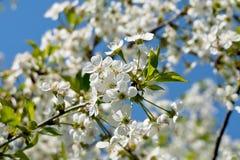 Blossom apple. Tree branch spring flower blossom apple fruit nature life Stock Image