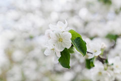 Blossom apple branch, spring flowers in garden Royalty Free Stock Photography