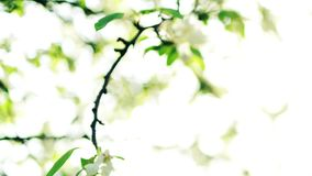 Blossom of apple branch Stock Image