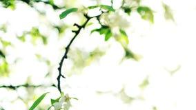 Blossom of apple branch stock video