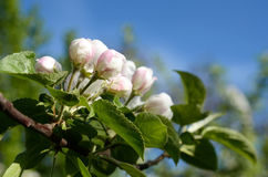 Blossom apple close up Royalty Free Stock Image