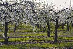 Blossom apple orchards. The blossom on apple trees. The orchards are in the vale of evesham worcestershire uk stock photo