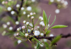 Blossom apple Royalty Free Stock Images