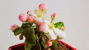 Blossom apple rotating on a white background covered with dew drops. Potted flowers in. Video 360 stock video footage