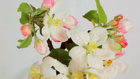 Blossom apple rotating on a white background covered with dew drops. Video 360 stock video footage