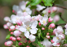 Blossom apple tree Royalty Free Stock Images