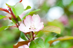 Blossom apple tree Stock Photo